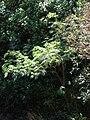 Starr 090213-2493 Falcataria moluccana.jpg