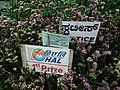 Statice from Lalbagh flower show Aug 2013 8072.JPG