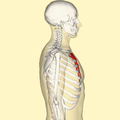 Sternum lateral.png