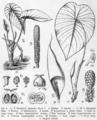 Steudnera assamica Pflanzenreich.png