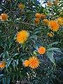 Stifftia chrysantha.jpg