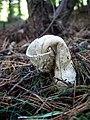 Stinkhorn (Phallus Impudicus) - geograph.org.uk - 247631.jpg