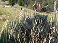 Stipa richardsonii (3877166560).jpg