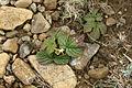 Stone Bramble (Rubus saxatilis) - geograph.org.uk - 722987.jpg