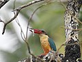 Stork billed kingfisher-kannur-kattampally - 12.jpg