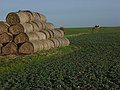 Straw bales, Childrey Field - geograph.org.uk - 313884.jpg