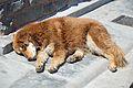 Street Dog - Shimla 2014-05-08 1571.JPG