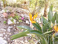 Strelitzia reginae from Kedumim 126.jpg