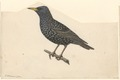 Sturnus vulgaris - 1840 - Print - Iconographia Zoologica - Special Collections University of Amsterdam - UBA01 IZA1000582.tif