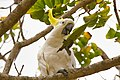 Sulphur-crested cockatoo - AndrewMercer IMG19060.jpg