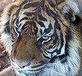 Sumatran Tiger (13102502685).jpg
