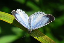 Summer Azure, female, Fletcher Wildlife.jpg