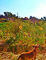 Sun flower fields at Faiyom, tounis village.jpg