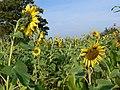 Sunflowers along the Sewstern Drift - geograph.org.uk - 1031642.jpg