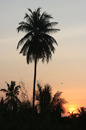 English: Silhouette of a coconut palm with the...