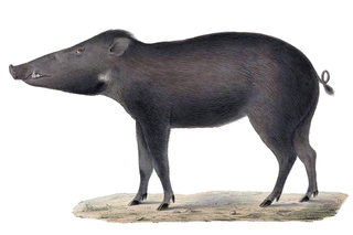 Celebes warty pig Suid from Sulawesi (Sus celebensis)