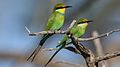 Swallow-tailed bee-eater, Merops hirundineus, at Kgalagadi Transfrontier Park, Northern Cape, South Africa (34493385716).jpg