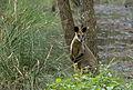 Swamp Wallaby (8025628411).jpg