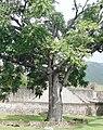 Swietenia mahagoni (Meliaceae).jpg