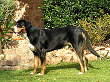 This is a side-view photograph of a Greater Swiss Mountain Dog showing a short coat and properly hangin tail.