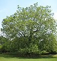 Sycamore at Winterthur.jpg