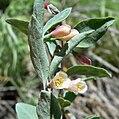 Symphoricarpos oreophilus 3.jpg