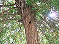 Syrian Woodpecker Hole.jpg