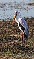 Tántalo africano (Mycteria ibis), parque nacional de Chobe, Botsuana, 2018-07-28, DD 73.jpg