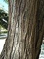 T.tipu-bark-1.jpg