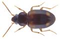 Tachyura lucasi (Jacquelin du Val, 1852).png