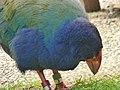 Takahe (50442996318).jpg
