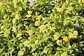 Tanacetum parthenium Golden Moss 1zz.jpg