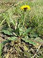 Taraxacum serotinum sl21.jpg