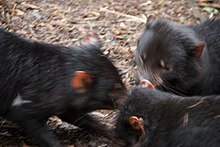 Three Tasmanian devils standing on bark chips huddled with their heads close together.