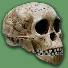Skull of Taung child