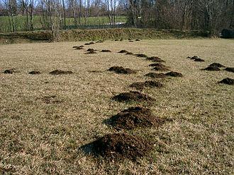 European mole - Image: Taupinières Mole hills