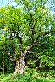 Tausenjährige Eiche am Ziegenberg im Tal der Walbke.JPG
