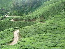 TEA CULTIVATION and HARVESTING