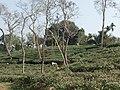 Tea gardens Srimangal Sreemangal Upazila Moulvibazar Maulvibazar Moulavibazar Sylhet 234.jpg