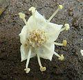 Terminalia phanerophlebia, blom, Manie van der Schijff BT, f.jpg
