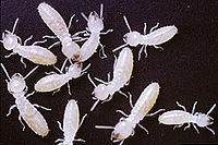 Termites marked with traceable protiens.jpg