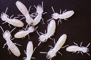 Blattodea - Termites
