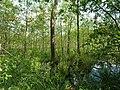 Teufelsbruch swamp next to crossing path in summer 3.jpg