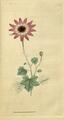 The Botanical Magazine, Plate 53 (Volume 2, 1788).png