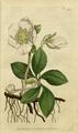 The Botanical Magazine, Plate 8 (Volume 1, 1787).png
