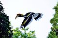 The Great Indian Hornbill.jpg