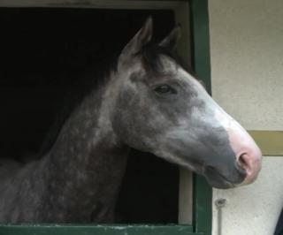 The Grey Gatsby Irish-bred Thoroughbred racehorse