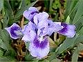 The Iris (19) (8096409392).jpg