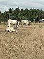 The Kangayam bull.jpg