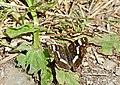 "The Map (Araschnia levana) ""prorsa"" summer form ... - Flickr - berniedup.jpg"